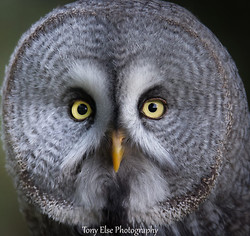 Great Grey Owl - photography workshop image