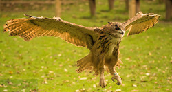 Eagle owl - photography workshop image